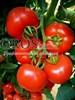 Семена томата Белфаст F1 500 шт - фото 9281