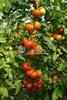 Семена томата Тобольск F1 1000шт - фото 9302