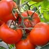 Семена томата Тобольск F1 1000шт - фото 9303