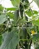 Семена огурца Анзор F1 1000шт - фото 9309