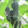 Семена огурца Анзор F1 1000шт - фото 9310