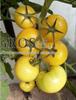 Семена томата Гуальдино F1 250шт - фото 9316