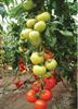 Семена томата Фантастина F1 500 шт - фото 9330