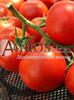 Семена томата Фантастина F1 500 шт - фото 9334