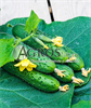 Семена огурца Спино F1 500 шт - фото 9338