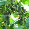 Семена огурца Эколь F1 500 шт - фото 9344