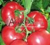 Семена томата Лагенда F1 500шт - фото 9353