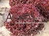 Семена салата Туска 5000 шт (драже) - фото 9383