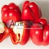 Семена перца Прокрафт F1 500 шт - фото 9399