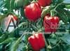 Семена перца Прокрафт F1 500 шт - фото 9401