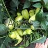 Семена перца Амаретта F1 500 шт - фото 9407