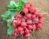 Семена редиса Ролекс F1 5 000 шт (калибр.  2,25-2,50 мм) - фото 9428