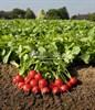 Семена редиса Рудольф 500 г - фото 9443