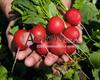 Семена редиса Регге 500 г - фото 9446
