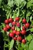 Семена редиса Регге 500 г - фото 9447