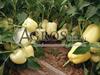 Семена перца Ведрана F1 500 шт - фото 9461