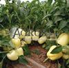 Семена перца Ведрана F1 500 шт - фото 9463