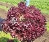 Семена салата Леа 5000 шт (драже) - фото 9495