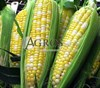 Семена кукурузы Роузи F1 5000 шт - фото 9504