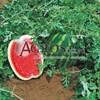 Семена арбуза Топ Ган F1 1000 шт - фото 9578