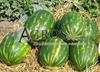 Семена арбуза Тамерлан F1 1000 шт - фото 9596