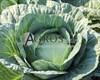 Семена капусты Адаптор  F1 2500шт - фото 9610