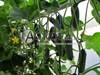 Семена огурца Директор F1 500 шт - фото 9705