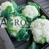 Семена цветной капусты Синерджи F1 2500 шт - фото 9739