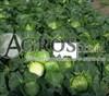 Семена капусты Миррор F1 2500шт - фото 9754