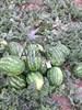 Семена арбуза Каристан F1 1000 шт - фото 9764