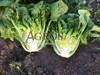 Семена салата Бацио  5000 шт (драже) - фото 9781