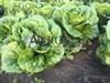 Семена салата Бацио  5000 шт (драже) - фото 9782