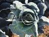 Семена капусты Агрессор F1 2500шт - фото 9787