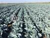 Семена капусты Агрессор F1 2500шт - фото 9788