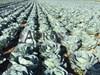 Семена капусты Агрессор F1 2500шт - фото 9790