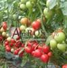 Семена томата Вегго F1 500 шт - фото 9961