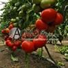 Семена томата Вегго F1 500 шт - фото 9962
