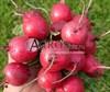 Семена редиса Вена F1 250 г - фото 9985