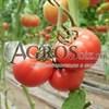 Семена томата Мамстон F1 500шт - фото 9987