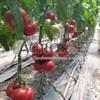Семена томата Мамстон F1 500шт - фото 9988