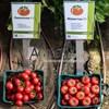 Семена томата Мамстон F1 500шт - фото 9990