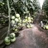 Семена томата Мамстон F1 500шт - фото 9991