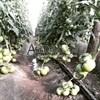 Семена томата Мамстон F1 500шт - фото 9993